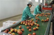 苹果清洗打蜡机先进的果蔬产后处理设备
