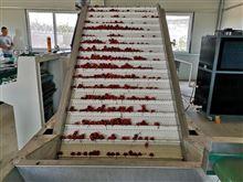 使用樱桃选果机的作用