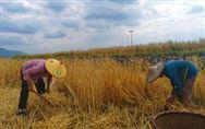 """13部門聯合印發意見強調:堅持農民主體辦好""""豐收節"""""""