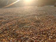 河南小麥播種結束 面積穩定質量提高