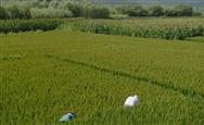 农业技术发挥神奇功效—化肥用少了,水稻增产了