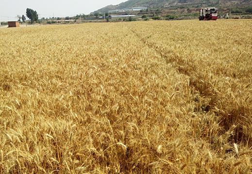 【手中有糧 心中不慌】全國小麥機收大規模展開,盼豐收!
